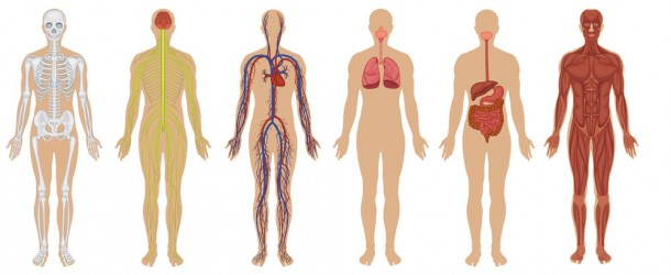 Curiosidades sobre o corpo humano